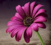 pink-266829_640
